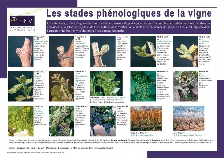 最常被引用的葡萄生長周期表,由法國國家研究單位IFV製作。@IFV