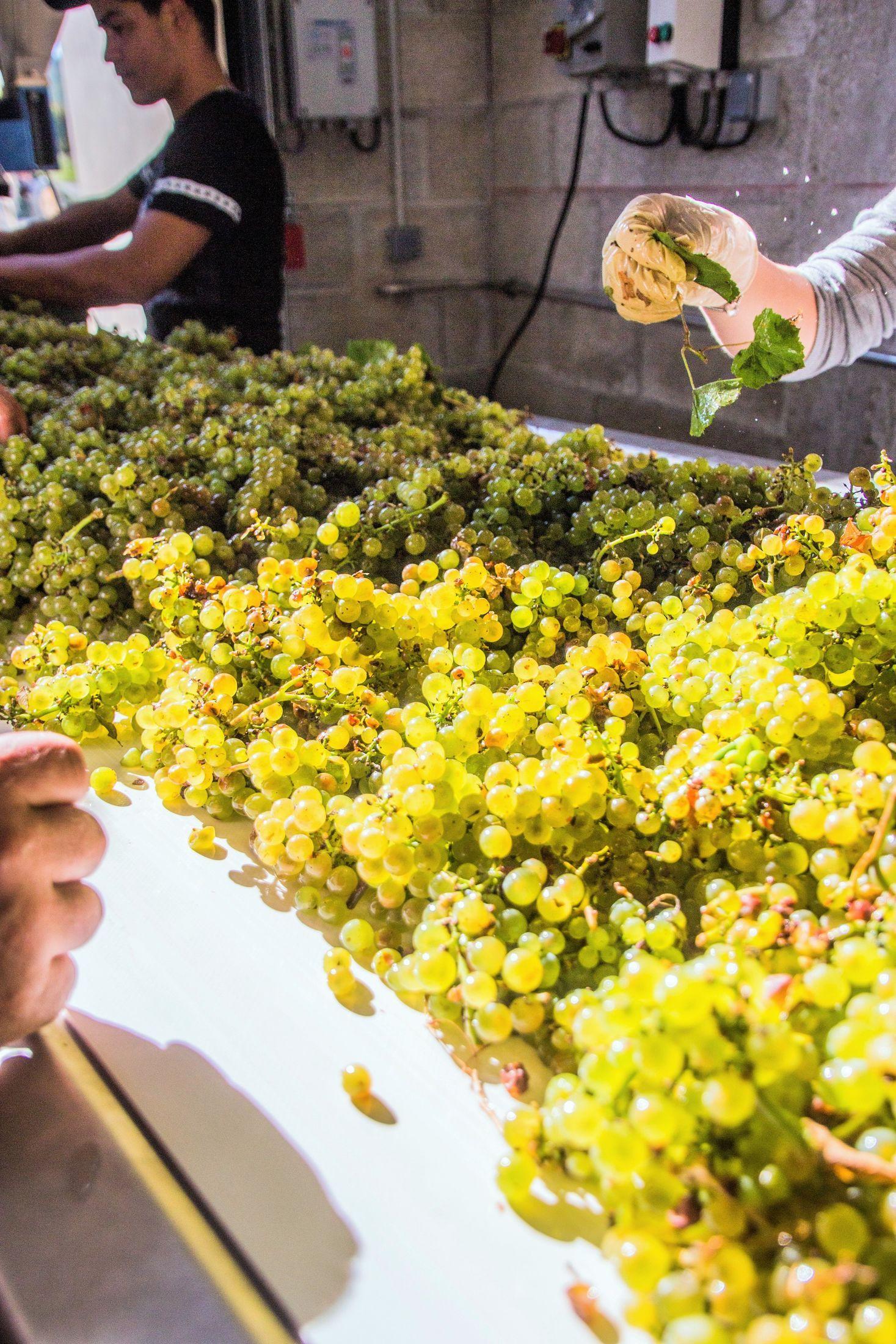 生科生化學生未來的發展可能之一 – 葡萄產業