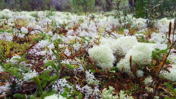 像棉花糖的苔蘚?