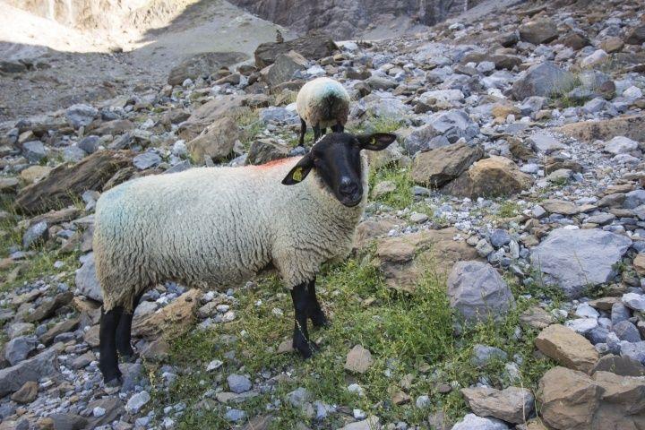 夏季進山的羊咩咩。