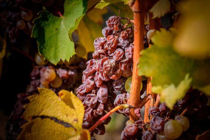 Ep.8 【認識葡萄酒】什麼是貴腐酒?