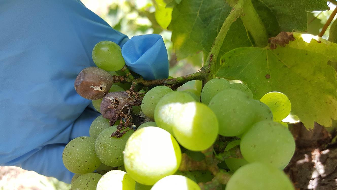 毛毛蟲拿葡萄當食物 - 飛蛾的寶寶