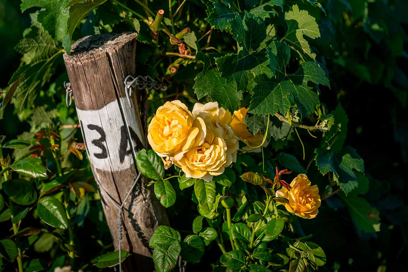 Ep.9 【認識葡萄酒】玫瑰啊玫瑰,葡萄園的玫瑰到底有什麼用?